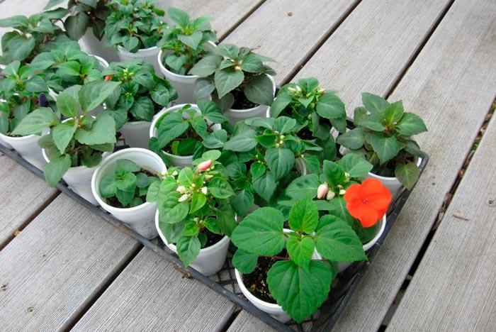 Секреты выращивания бальзамина из семян в домашних условиях