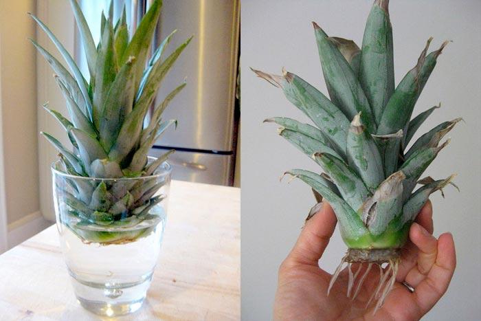 укоренение ананаса