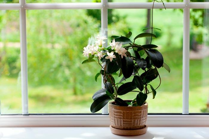 гардения на окне