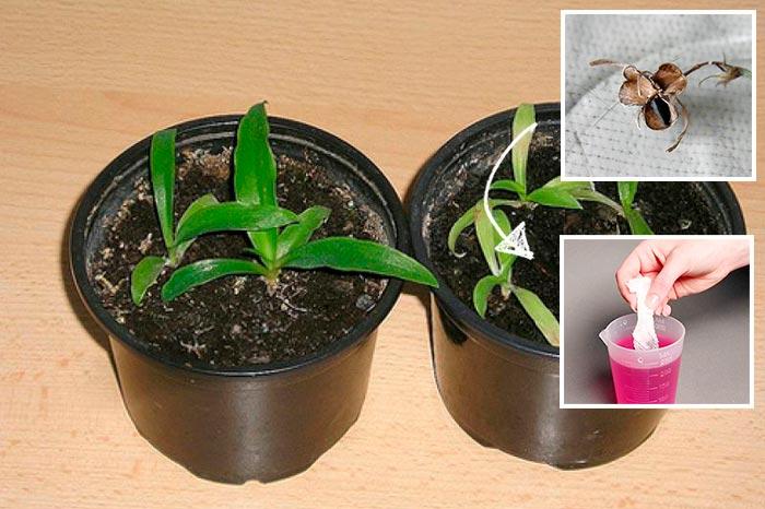хлорофитум из семян