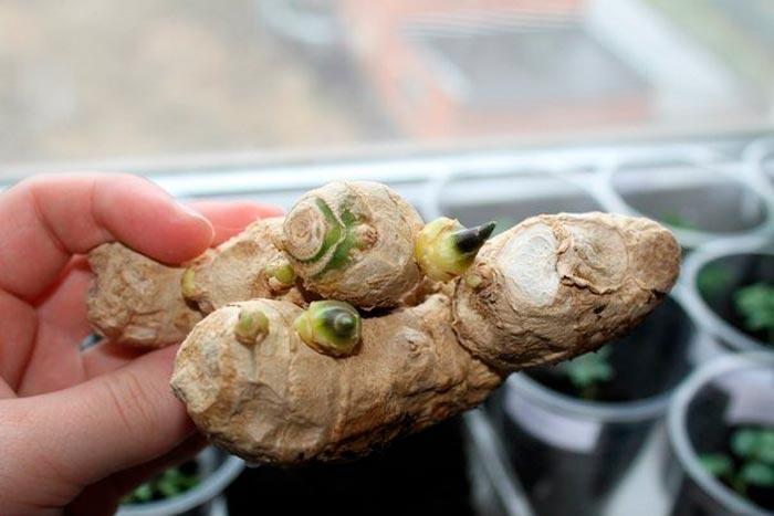 корень имбиря