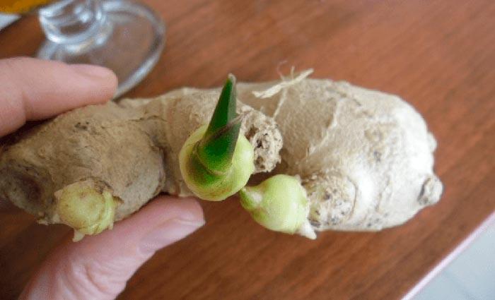 корень с ростком