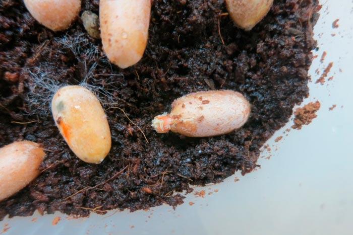 семена замии