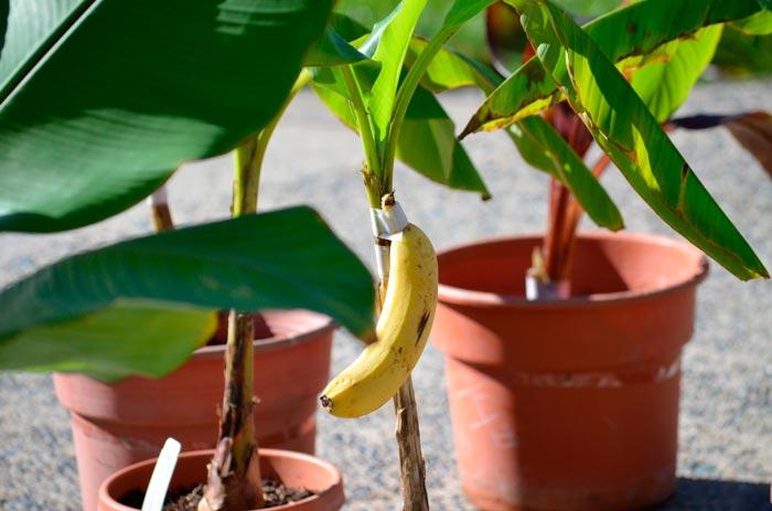 Как правильно выращивать банан в домашних условиях