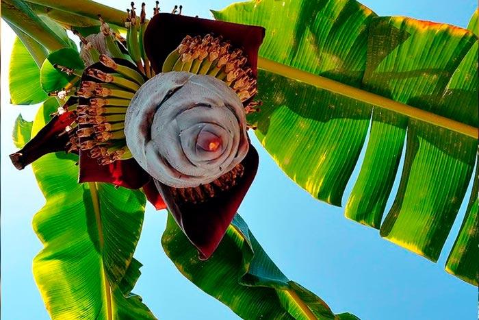 цветение банана