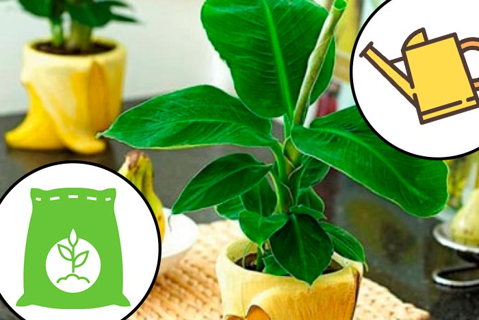 полив и подкормка банана