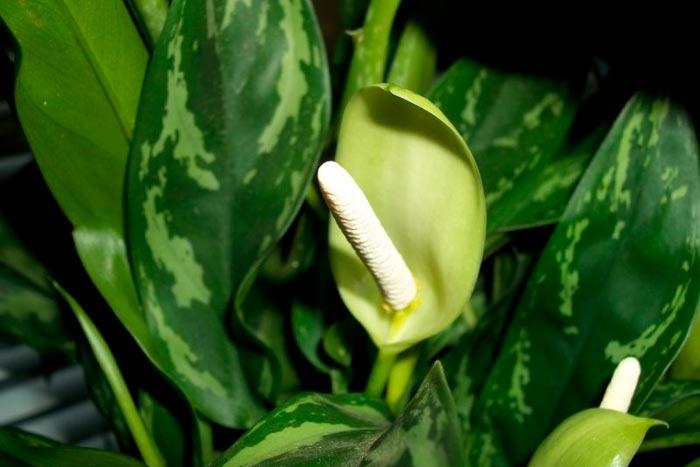 Цветение диффенбахии в домашних условиях