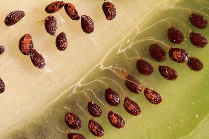 семена киви