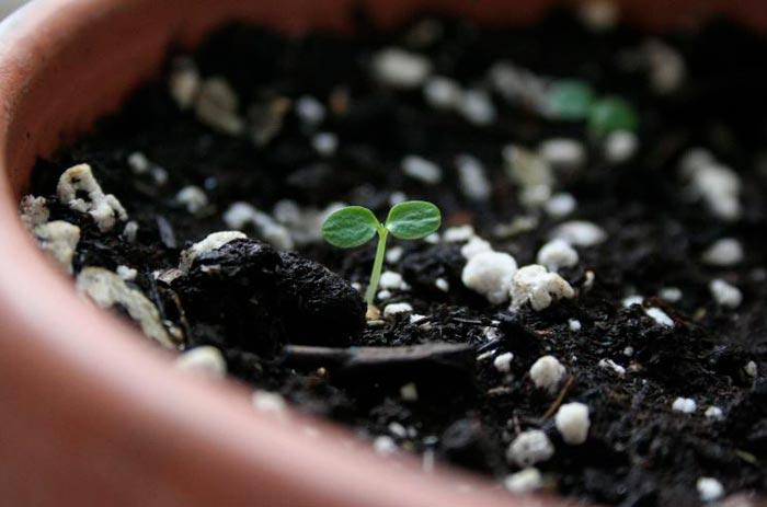 ростки киви
