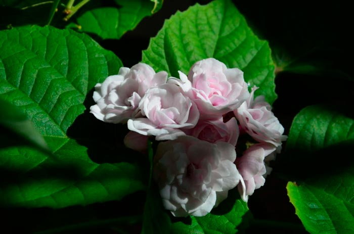 Описание и особенности выращивания клеродендрума филиппинского