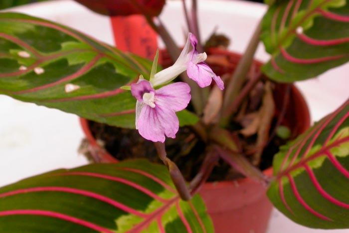 цветение маранты