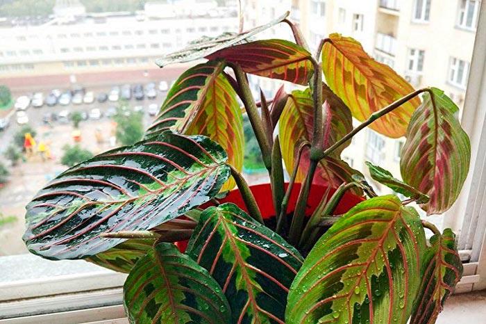 мокрые листья маранты