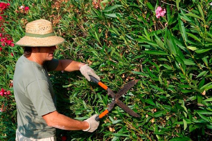 обрезает куст в саду