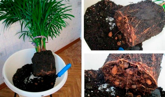 пересадка пальмы