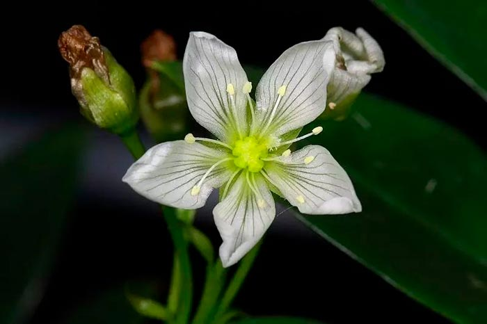 цветение венериной мухобойки