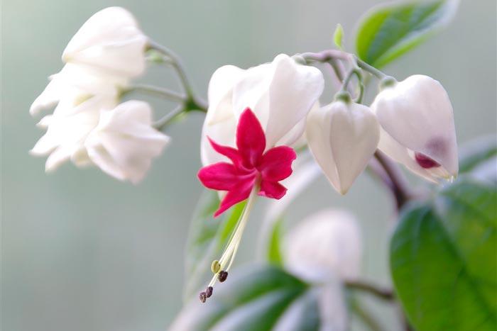 соцветие клеродендрума