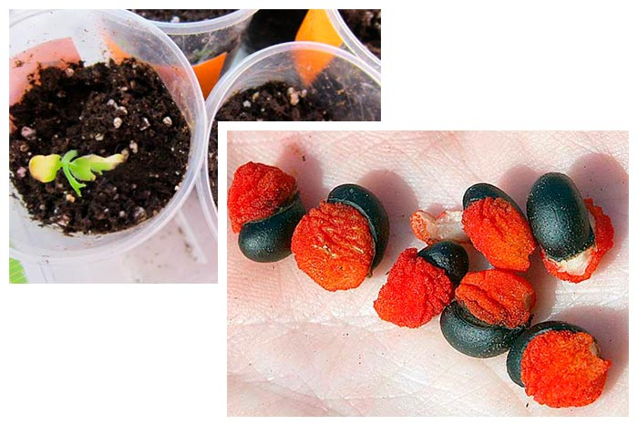 клеродендрум из семян