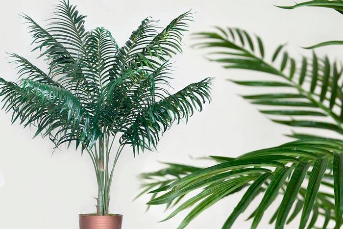 перистолистная пальма