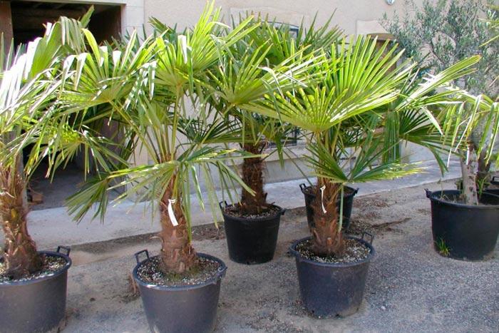 вееролистные пальмы