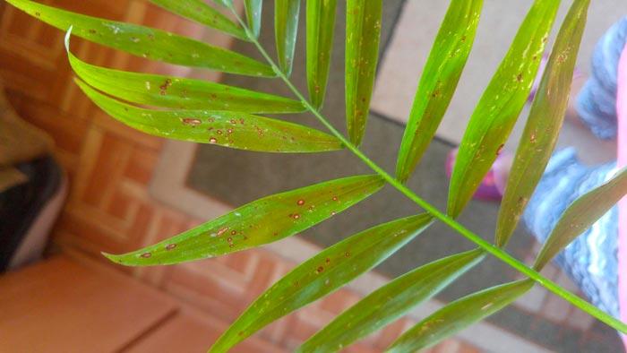 сохнут листья хамедореи
