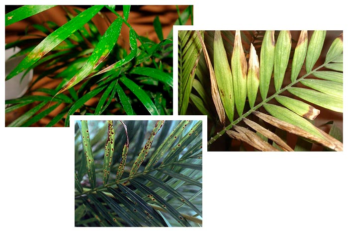 грибковые инфекции пальмы