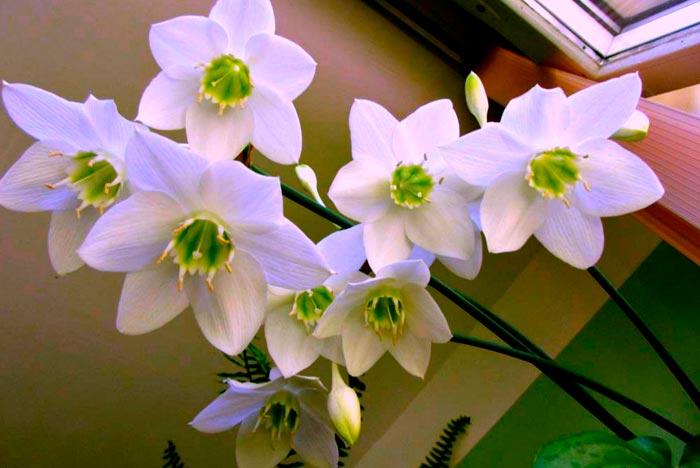 цветение эухариса