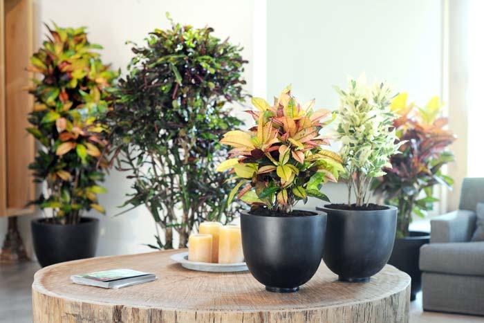 Как вырастить кодиеум пестрый в домашних условиях