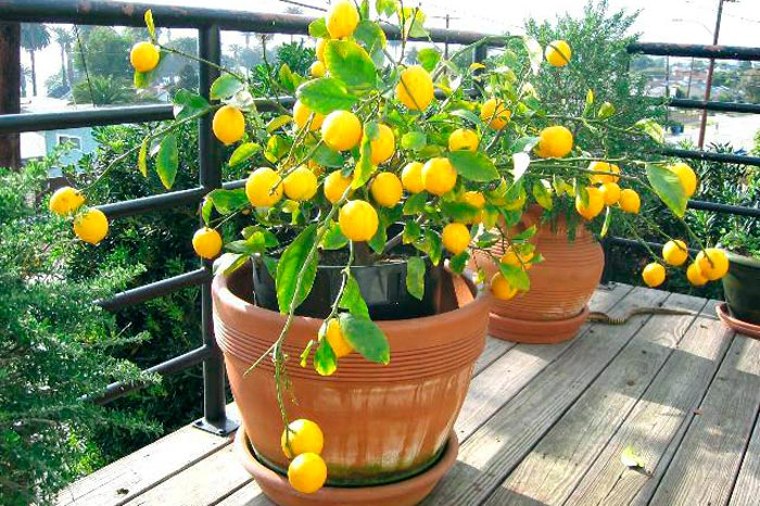 лимоны на балконе