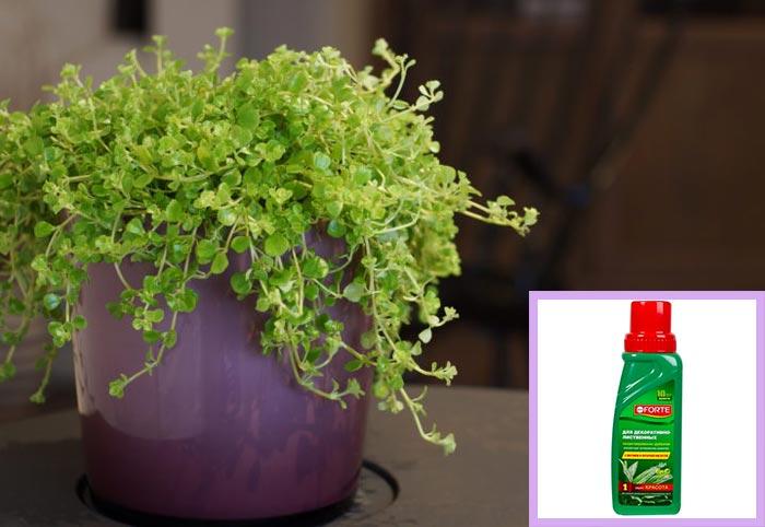 подкормка декоративно лиственного цветка