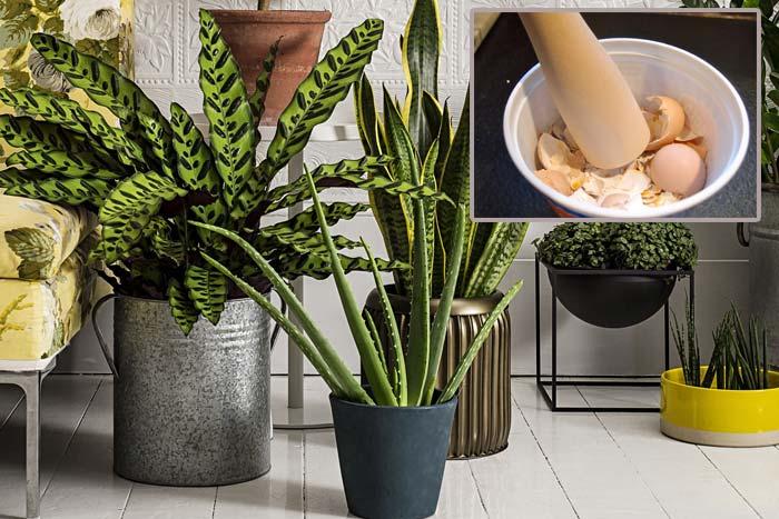 Как использовать яичную скорлупу для комнатных растений