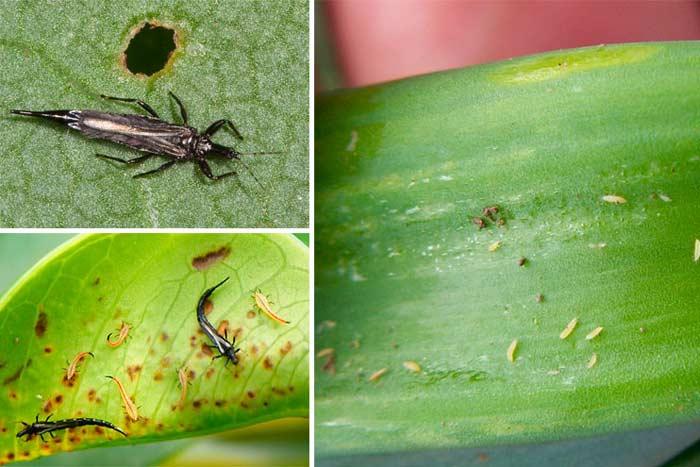 Признаки поражения орхидей трипсами и меры борьбы с вредителями