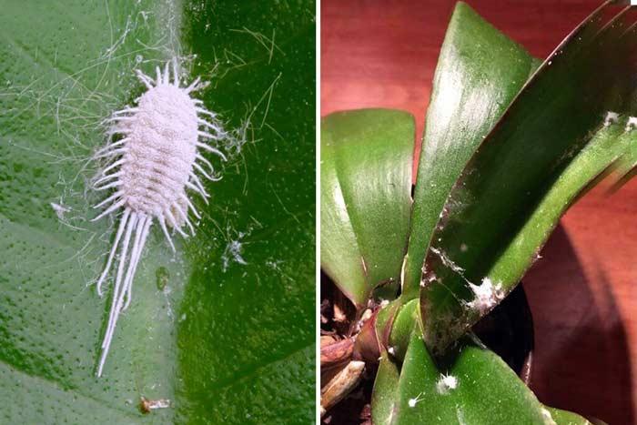 Эффективные методы борьбы с мучнистым червецом на орхидее