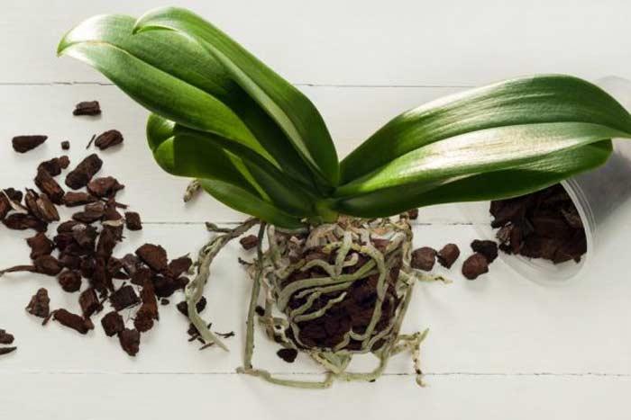 Секреты успешной пересадки орхидеи фаленопсис
