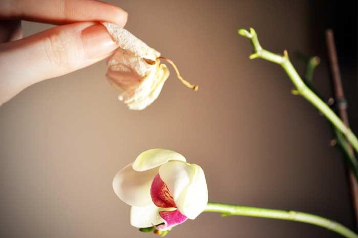 Причины увядания бутонов и цветов у орхидеи