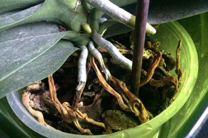 сухие корни